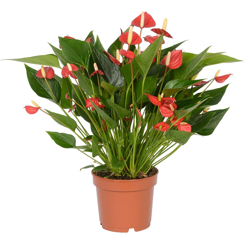 anthurie karma million flowers topf ca 12 cm anthurium andreanum kaufen bei obi. Black Bedroom Furniture Sets. Home Design Ideas
