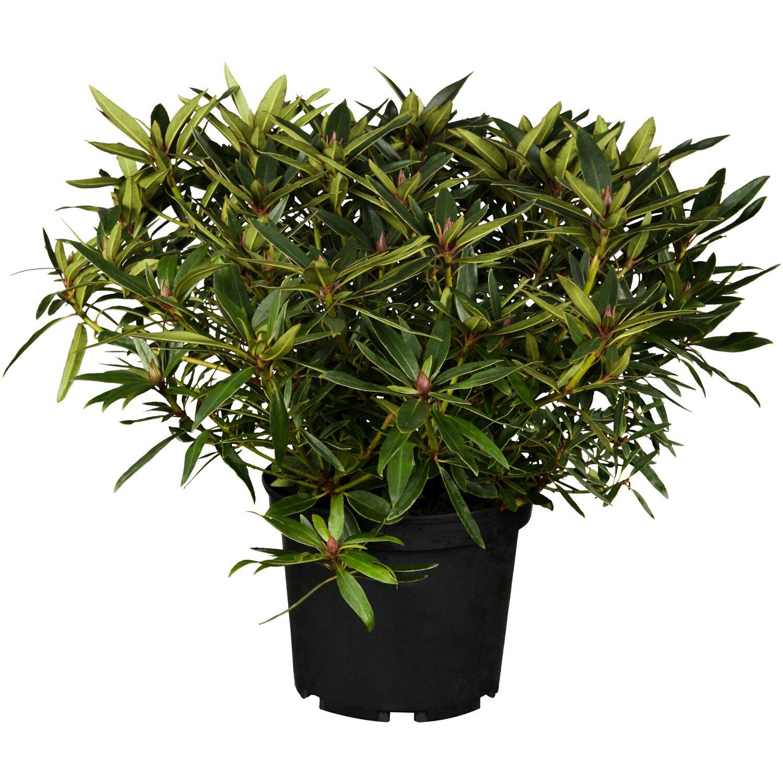 obi alpenrose graziella rosa h he ca 30 40 cm topf ca 5 l rhododendron kaufen bei obi. Black Bedroom Furniture Sets. Home Design Ideas