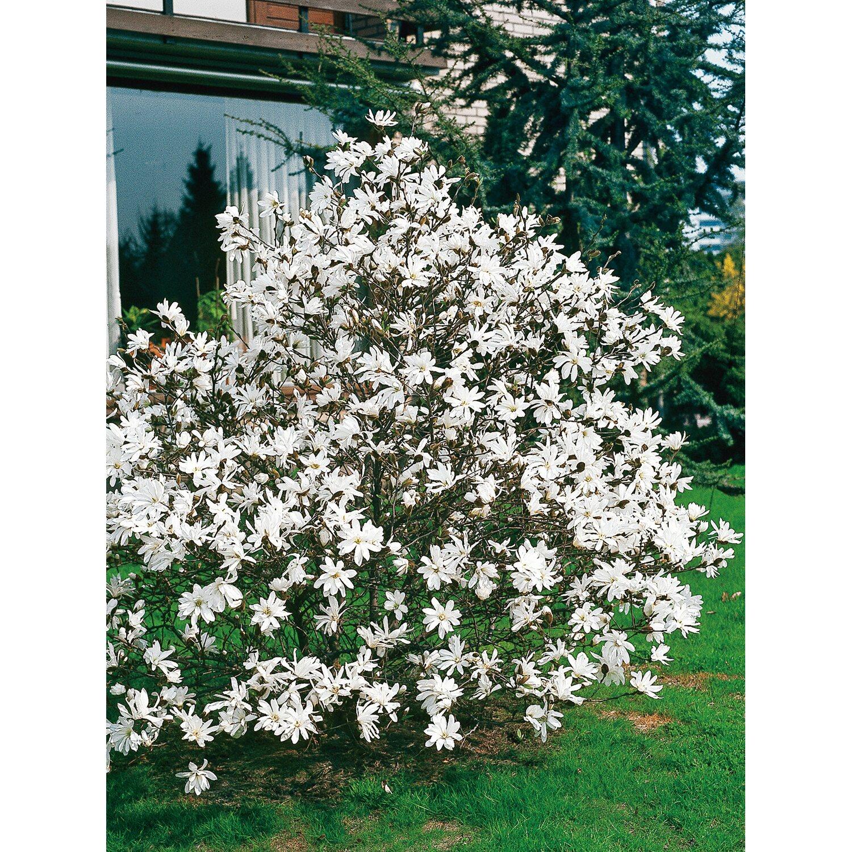 Garten Randsteine Obi: Magnolie Garten Kaufen Bei OBI