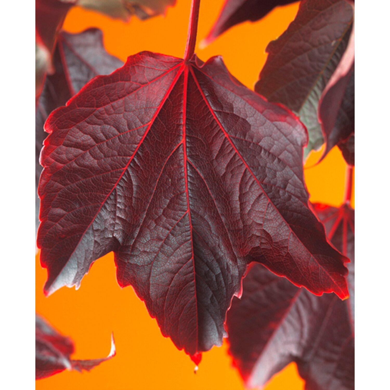 obi wilder wein gr n rot h he ca 75 cm topf ca 2 25 l parthenocissus veitchii kaufen bei obi. Black Bedroom Furniture Sets. Home Design Ideas