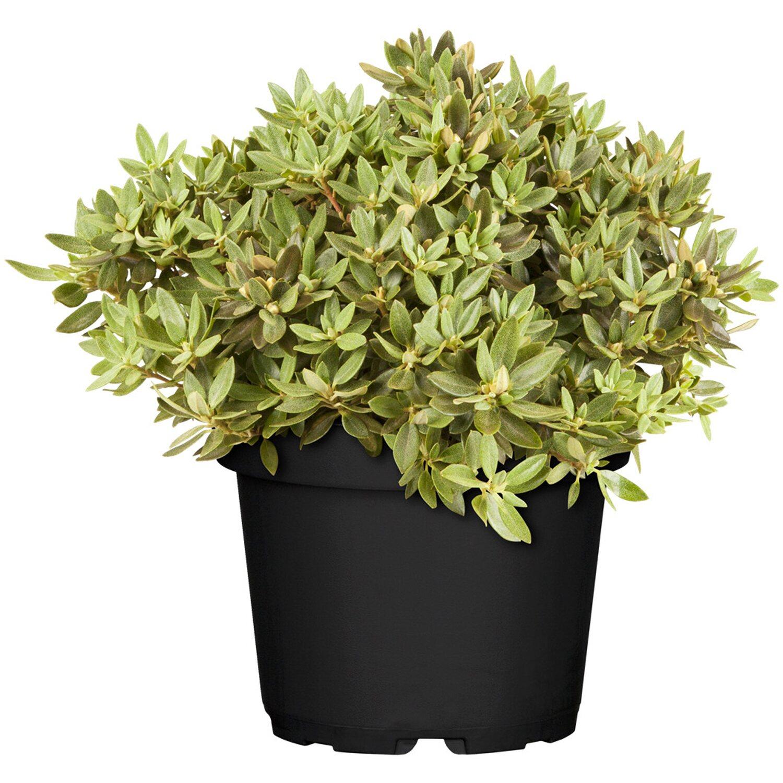 Zwergalpenrose Buchlovice Violett Höhe ca. 10 - 20 cm Topf ca. 2 l