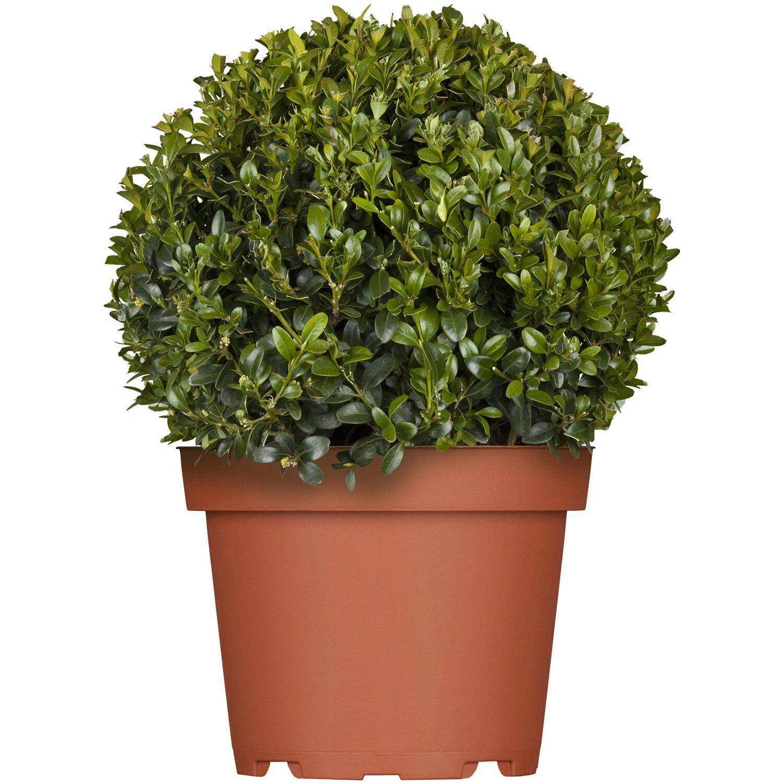 buchsbaum kugel h he ca 30 40 cm topf ca 7 5 l buxus kaufen bei obi. Black Bedroom Furniture Sets. Home Design Ideas
