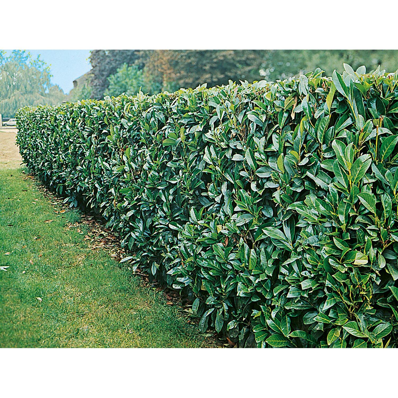 Obi Kirschlorbeer Novita Hohe Ca 50 60 Cm Topf Ca 5 L Prunus