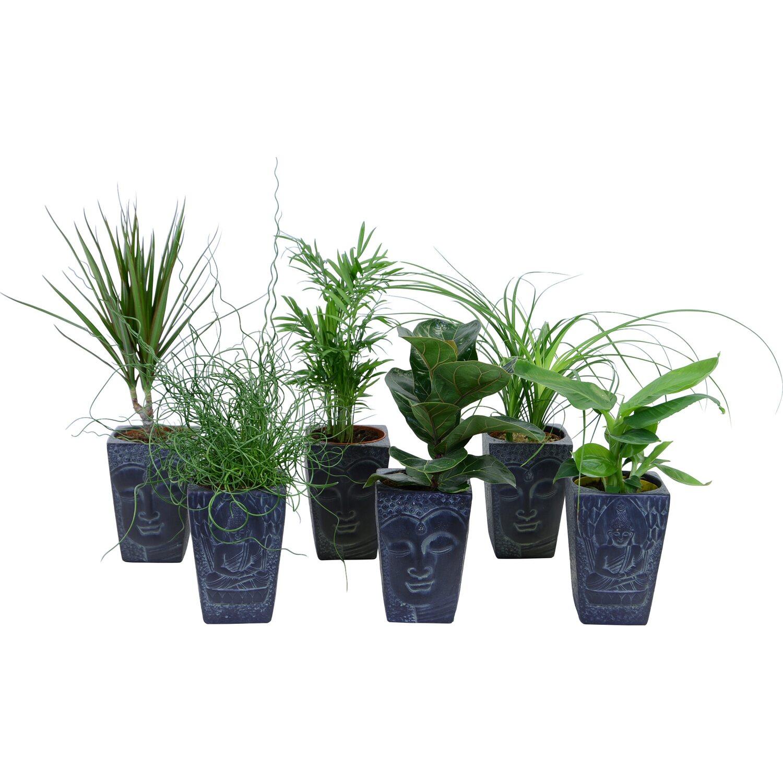 gr npflanzen mix in buddha topf ca 12 cm kaufen bei obi. Black Bedroom Furniture Sets. Home Design Ideas