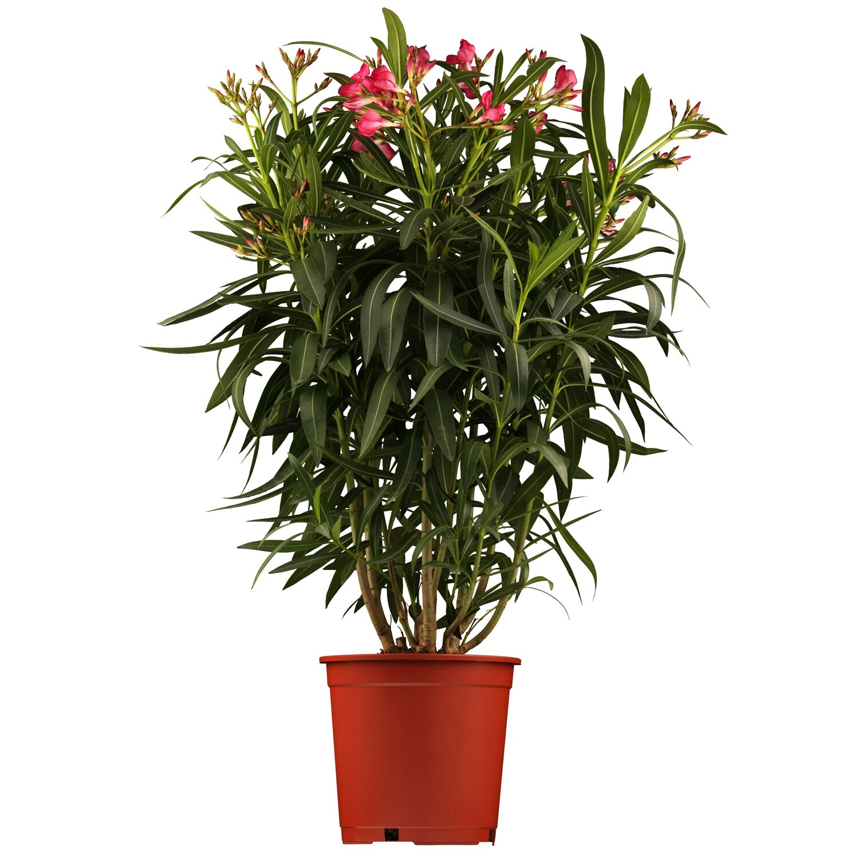 oleander stamm rosa topf ca 20 cm nerium kaufen bei obi. Black Bedroom Furniture Sets. Home Design Ideas