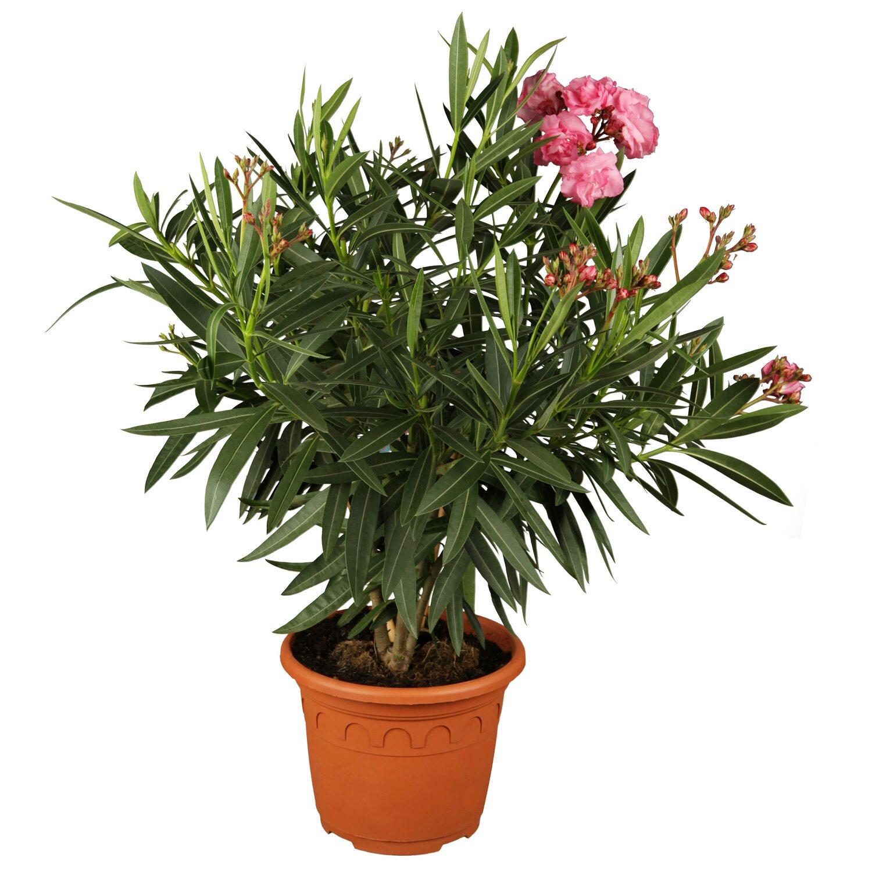 oleander dreifarbig topf ca 19 cm nerium kaufen bei obi. Black Bedroom Furniture Sets. Home Design Ideas
