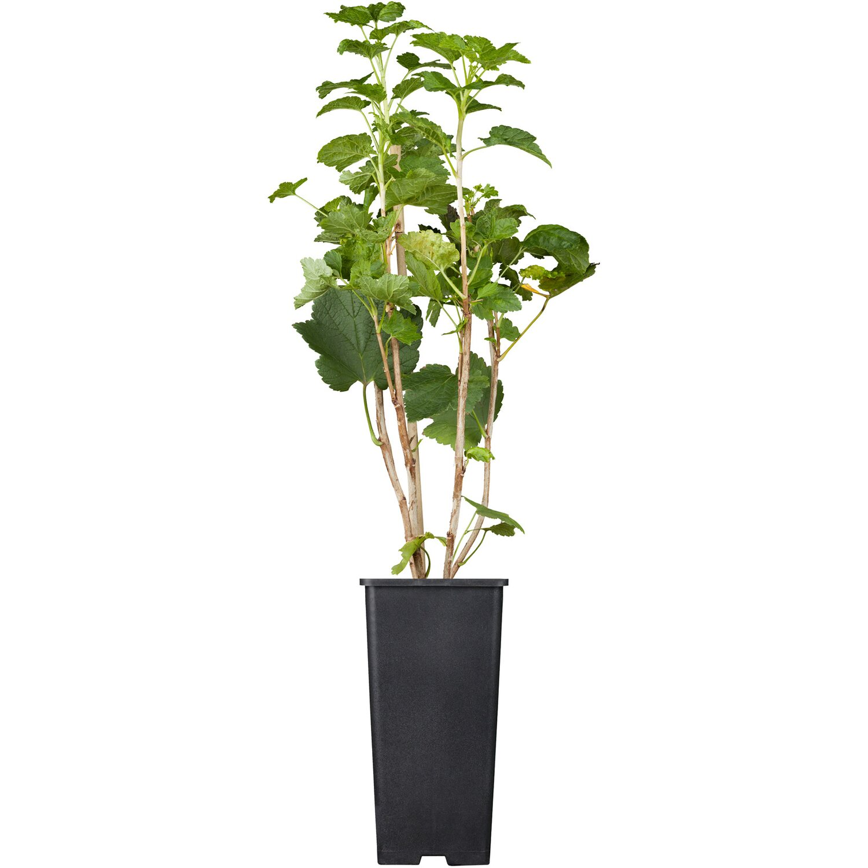 Johannisbeere Jonkheer van Tets Rot Höhe ca. 20 - 30 cm Topf ca. 2 l Ribes