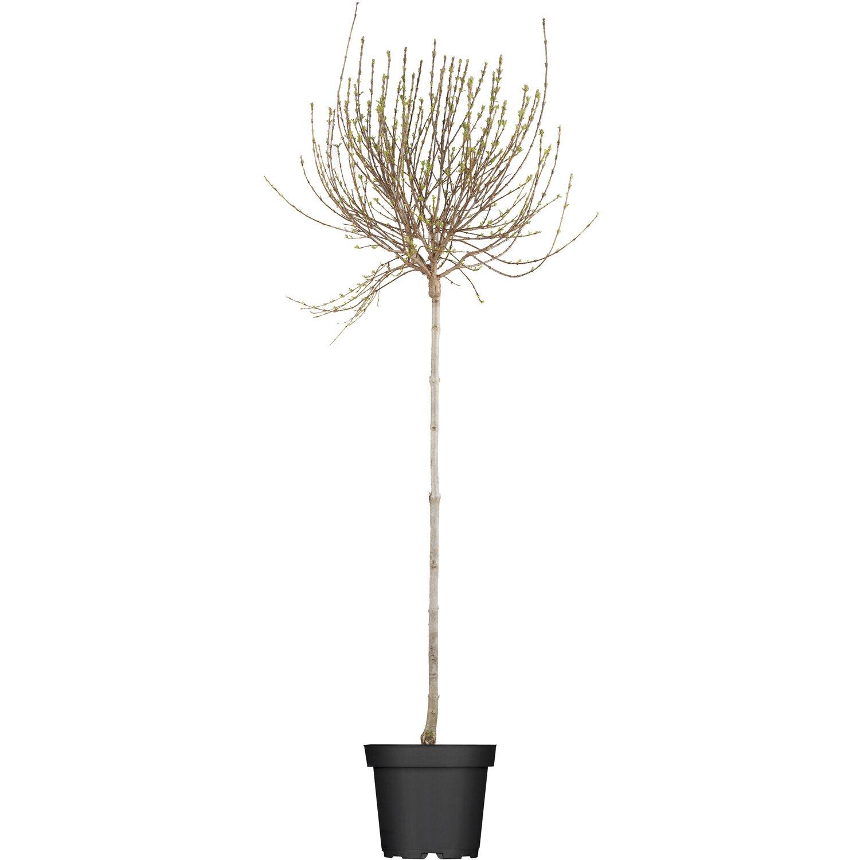 obi afghanischer flieder lila h he ca 50 60 cm topf ca 3 5 l syringa kaufen bei obi. Black Bedroom Furniture Sets. Home Design Ideas