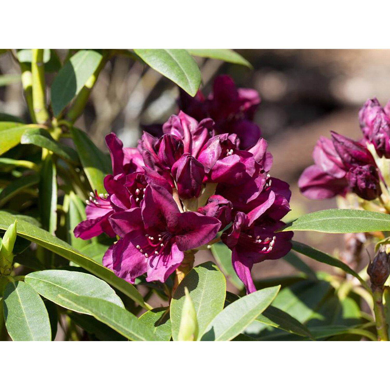 Rhododendron-Hybride Polarnacht Schwarzviolett Höhe ca. 20-30 cm Topf ca. 5 l
