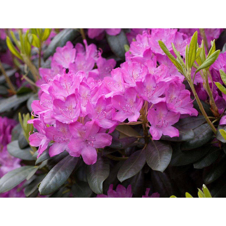 Rhododendron Roseum Elegans Rosa Höhe ca. 50 - ...