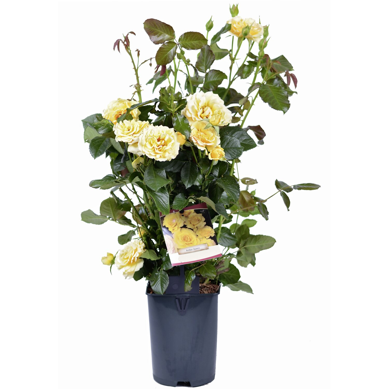 OBI Rose Patio verschiedene Sorten Gelb Höhe ca...