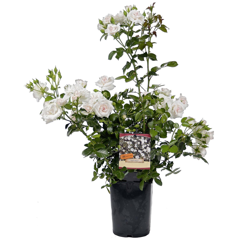 OBI Rose Patio verschiedene Sorten Weiß Höhe ca...