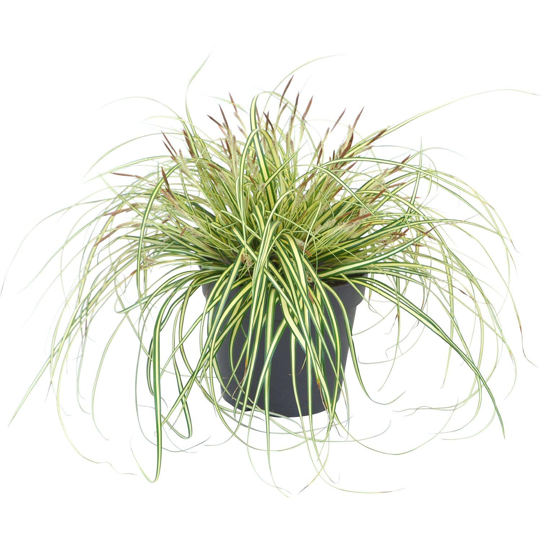Gräser Bambusse & Farne online kaufen bei OBI