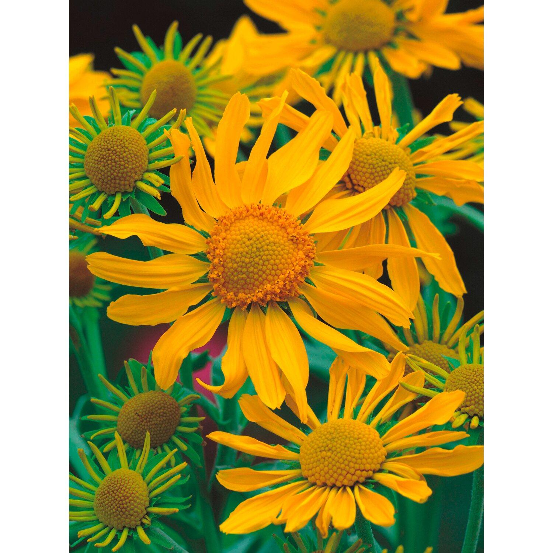 Obi S Schonste Bluhstauden 24 Pflanzen Kaufen Bei Obi