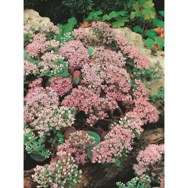 steingarten bilder pflanzen, obi´s steingarten-stauden 24 pflanzen kaufen bei obi, Design ideen