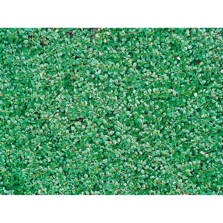 Kleinblättrige Teppichmispel Streibs Findling W...