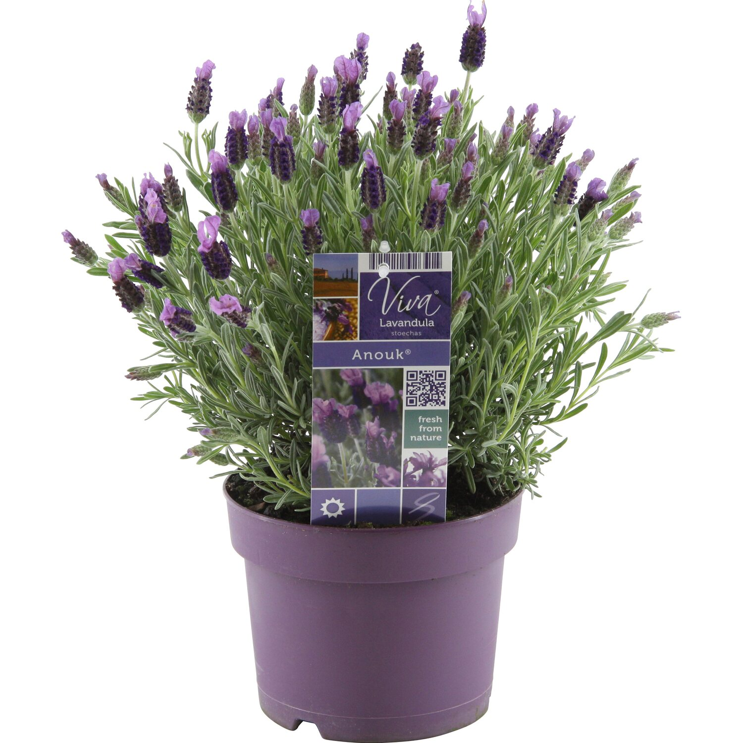 lavendel anouk topf ca 17 cm lavandula stoechas. Black Bedroom Furniture Sets. Home Design Ideas