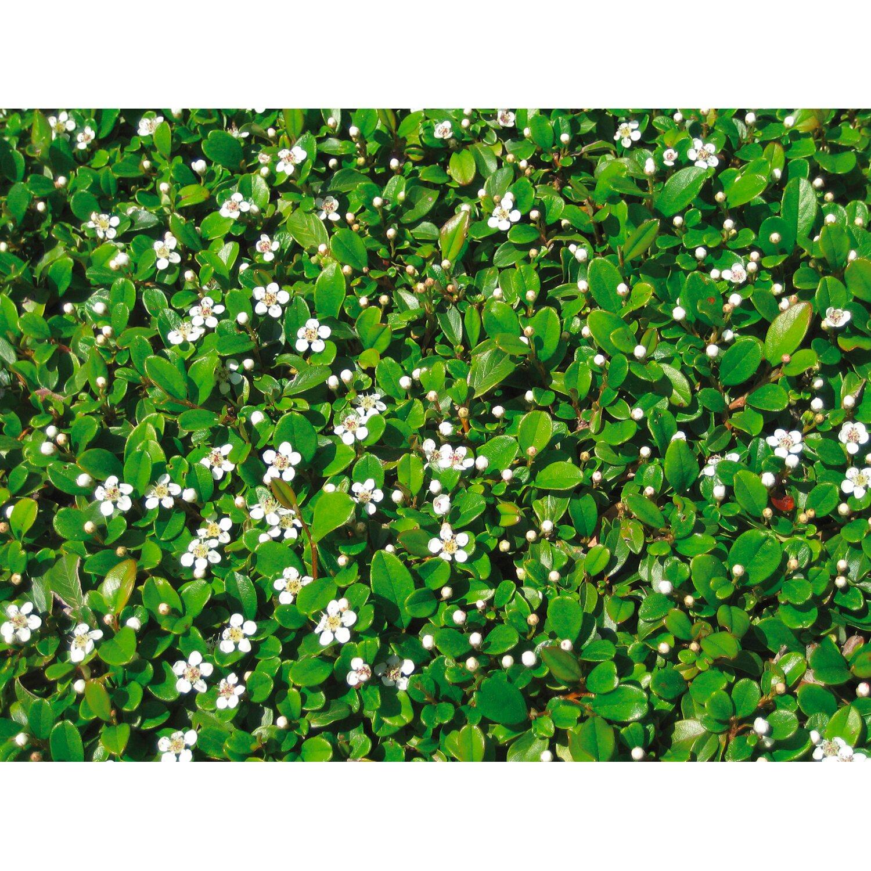 Kleinbl ttrige teppichmispel frieders evergreen wei for Evergreen pflanzen