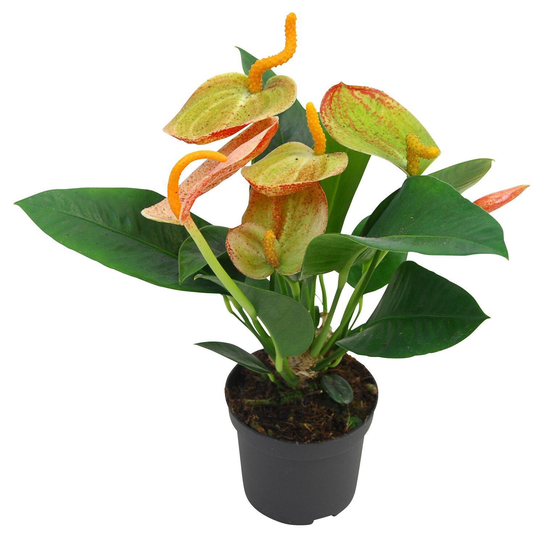 anthurie amaretti topf ca 9 cm anthurium andreanum kaufen bei obi. Black Bedroom Furniture Sets. Home Design Ideas