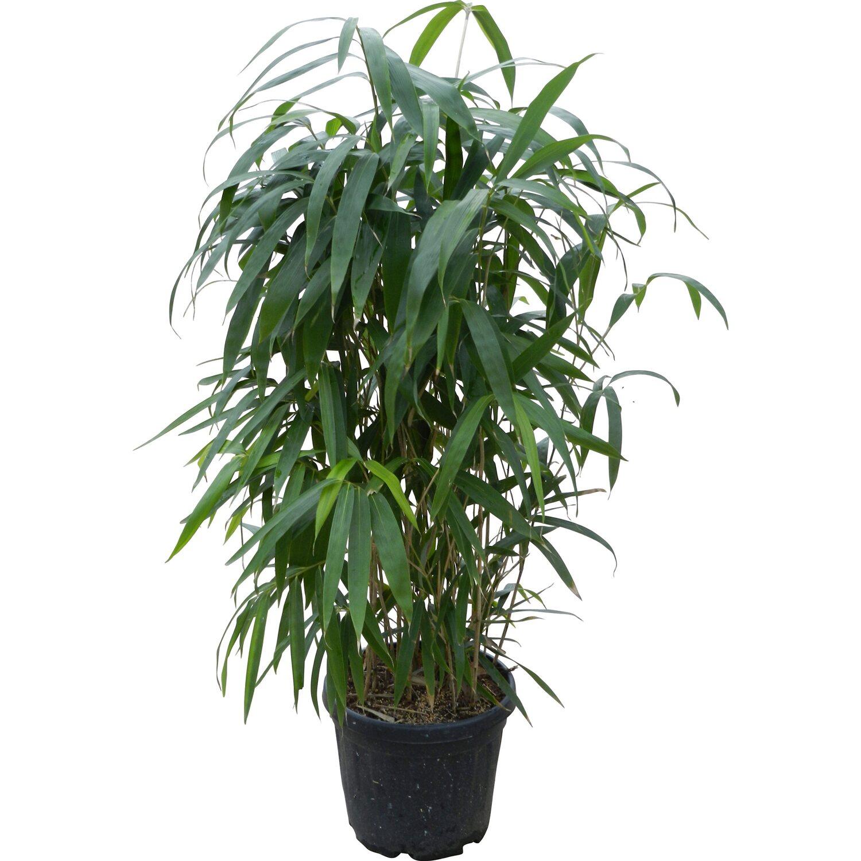 Obi Pfeil Bambus Topf O Ca 26 Cm Arundinaria Kaufen Bei Obi
