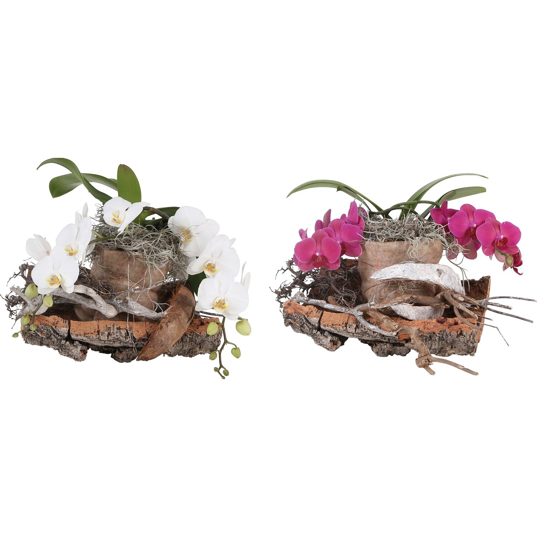 Großartig Orchidee auf Baumstamm kaufen bei OBI JI05