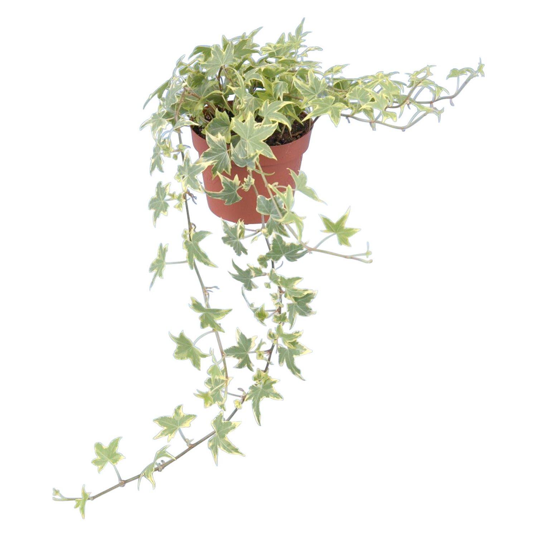 Efeu topf ca 13 cm gelb bunt hedera helix kaufen bei obi - Rankende zimmerpflanzen ...