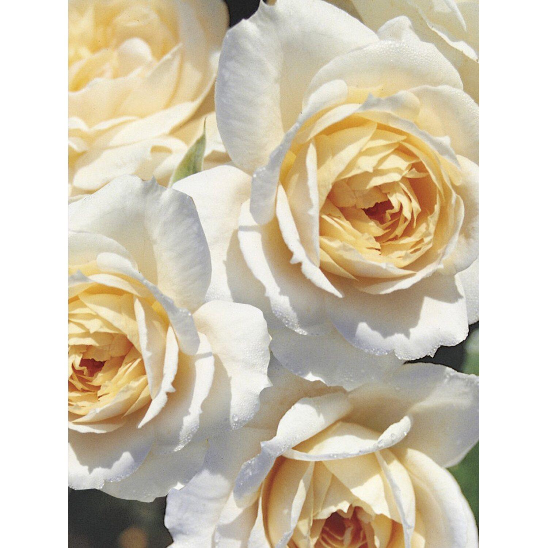 Beetrose Lions-Rose Weiß Höhe ca. 30 - 40 cm To...