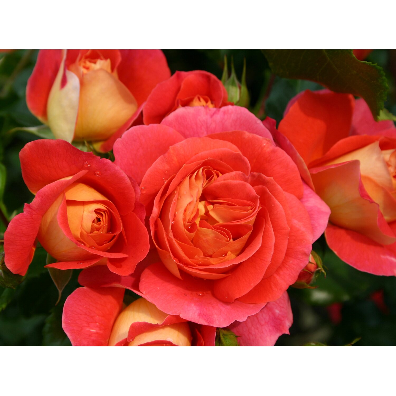 kordes beetrose gebr der grimm orange h he ca 40 50 cm topf ca 5 l rosa kaufen bei obi. Black Bedroom Furniture Sets. Home Design Ideas