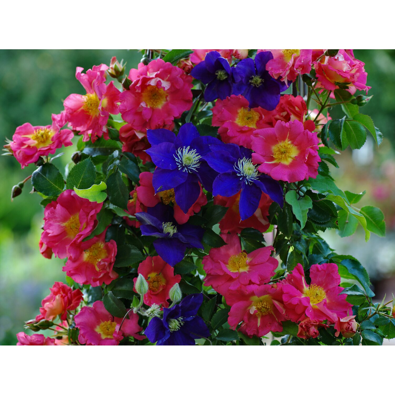 Hervorragend Rose online kaufen bei OBI VV32