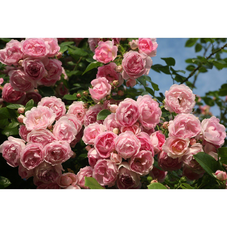 kordes kletterrose jasmina rosa h he ca 50 60 cm topf ca 5 l rosa kaufen bei obi. Black Bedroom Furniture Sets. Home Design Ideas