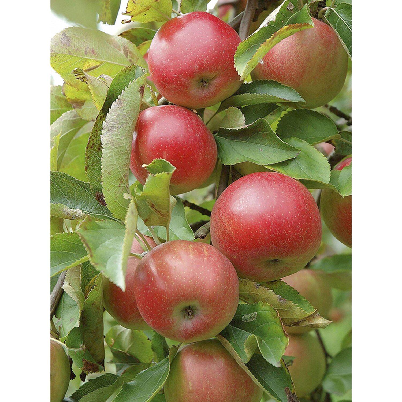 Apfel Topaz Orange-Rot Höhe ca. 100 - 120 cm Topf ca. 7 l Malus