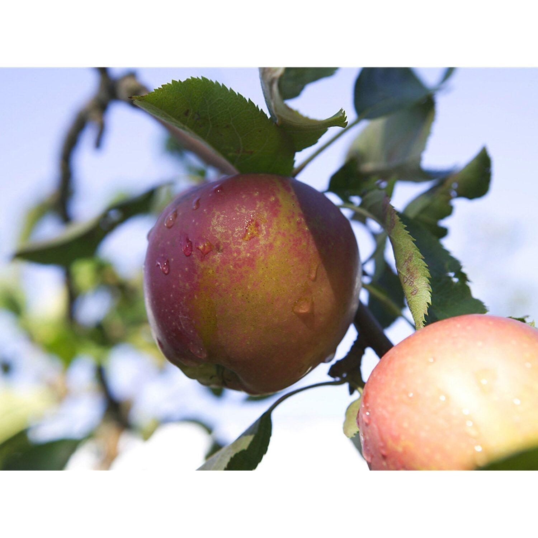 Apfel Rewena Rot Höhe ca. 100 - 120 cm Topf ca. 7 l Malus