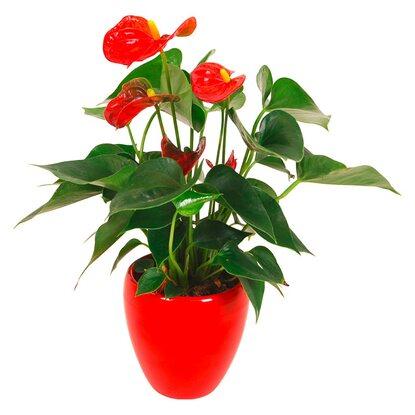 anthurie rot topf ca 9 cm im keramik gef kaufen bei obi. Black Bedroom Furniture Sets. Home Design Ideas