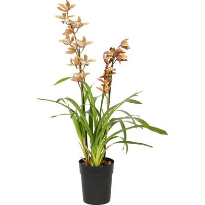 Cymbidium 2-Trieber Orange Topf-Ø ca. 14 cm
