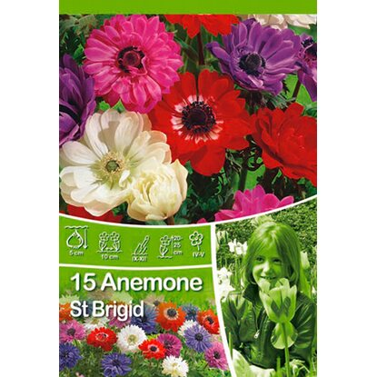 "Anemone ""St Brigid Mix"""