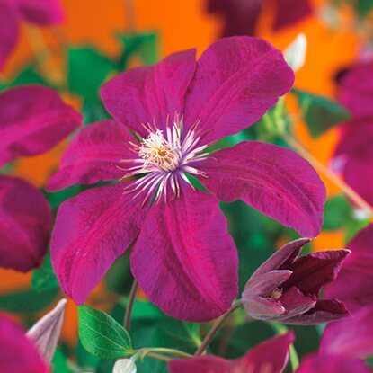 "Waldrebe ""Rouge Cardina"" Rot Höhe ca. 75 cm Topf ca. 2,25 l Clematis"