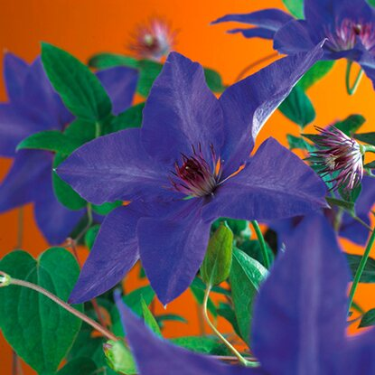 "Waldrebe ""The President"" Dunkelblau Höhe ca. 75 cm Topf ca. 2,25 l Clematis"