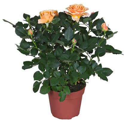 "Rose ""Parade"" Orange Topf-Ø ca. 10,5 cm"