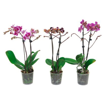 "Schmetterlings-Orchidee multiflora ""Spotty"" 2-Trieber Phalaenopsis"