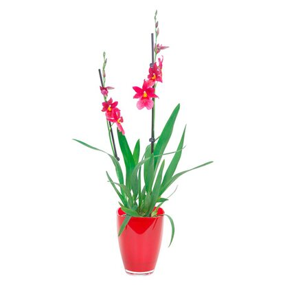 "Cambria-Orchidee ""Nelly Isler"" 2-Trieber Rot im Glas"