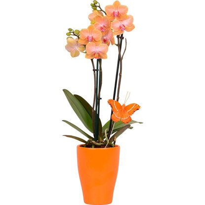 Schmetterlings-Orchidee 2-Trieber Orange im Gefäß