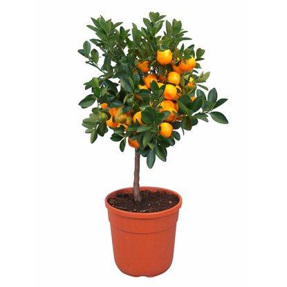 Zitrusbäumchen Stamm Orange Topf-Ø ca. 20 cm kaufen bei OBI