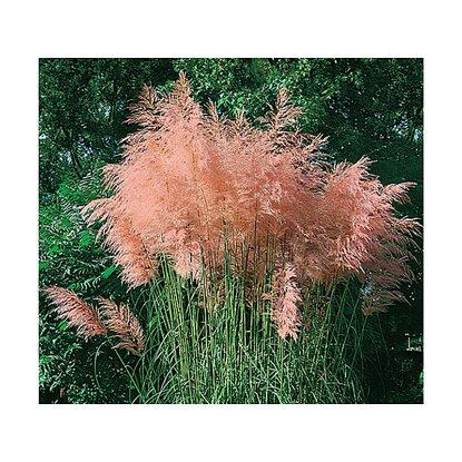 beet mit pampasgras, pampasgras rosa 4 pflanzen kaufen bei obi, Design ideen