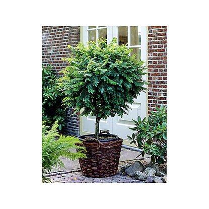 kugelakazie auf stamm 1 pflanze kaufen bei obi. Black Bedroom Furniture Sets. Home Design Ideas