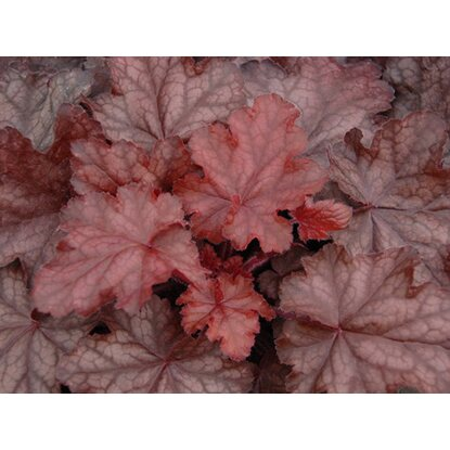 "Purpurglöckchen ""Fire Chief"" Rot Topf-Ø ca. 13 cm Heuchera"