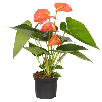 Anthurie Orange Topf-Ø ca. 9 cm Anthurium andreanum