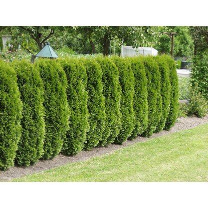 lebensbaum smaragd h he ca 100 120 cm ballenware thuja kaufen bei obi. Black Bedroom Furniture Sets. Home Design Ideas