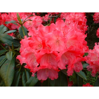 Inkarho-Ball-Alpenrose Höhe ca. 20 - 30 cm Topf ca. 5 l Rhododendron
