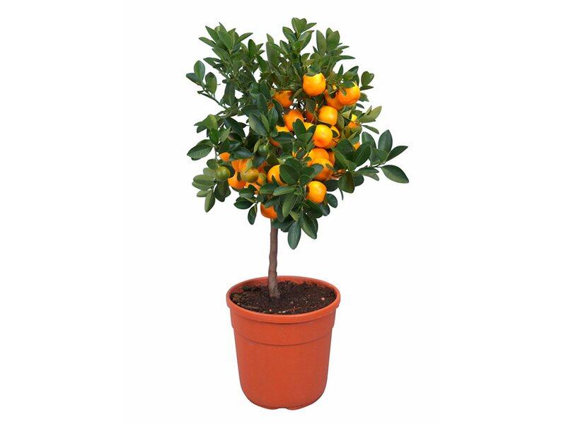 Zitrusb umchen stamm orange topf ca 20 cm kaufen bei obi for Baumax pool