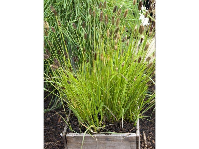 gräser, bambusse & farne online kaufen bei obi, Garten und bauen